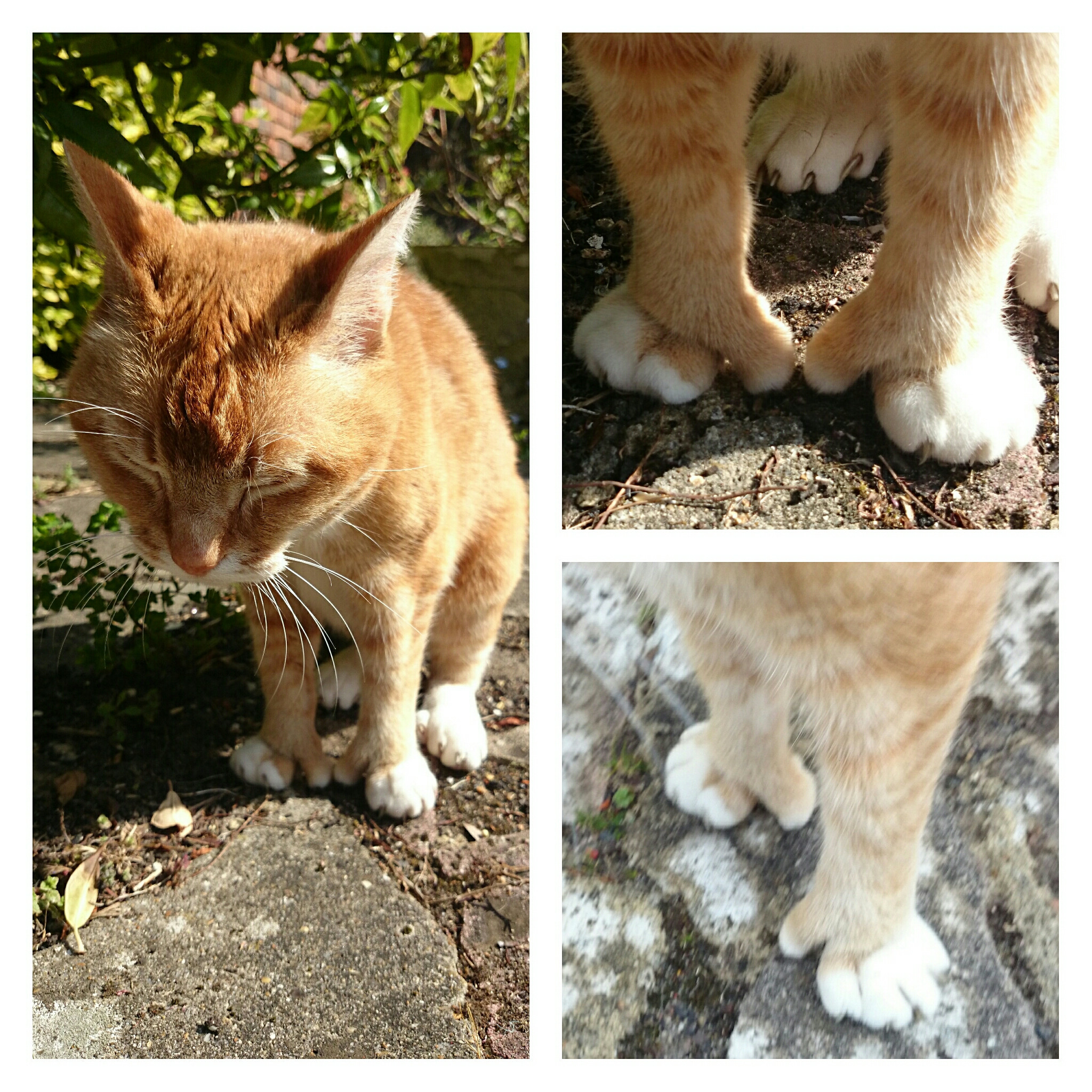 gato con polidactilia 3