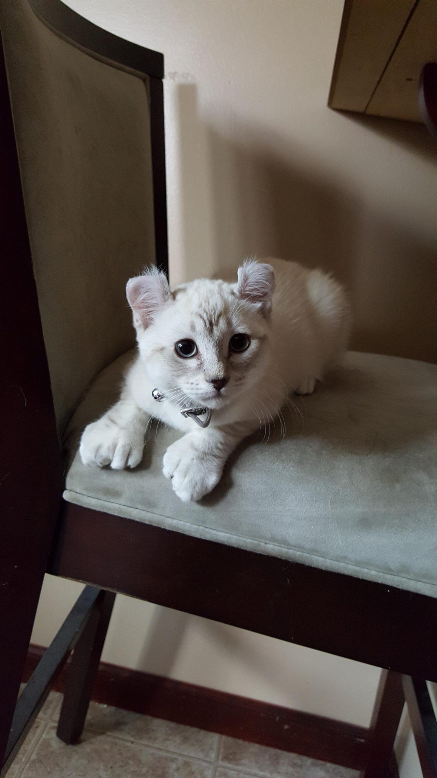 gato con polidactilia 7