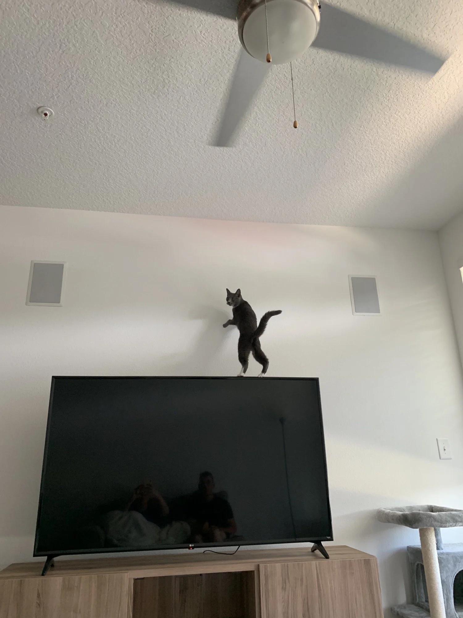 gato en television