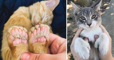 gatos-polidactilia