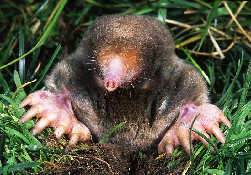 mole animal