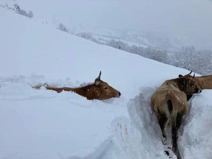 vacas atrapadas en la nieve