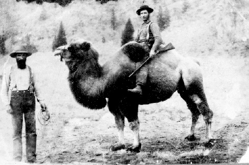 camellos en Norteamérica