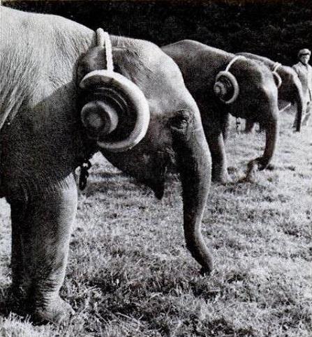 orejeras para elefantes