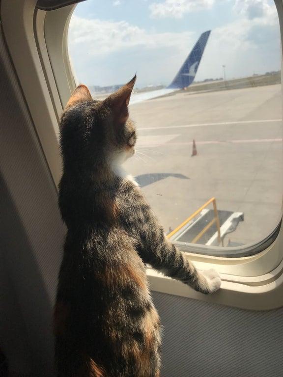 gatito mirando en ventana de avion
