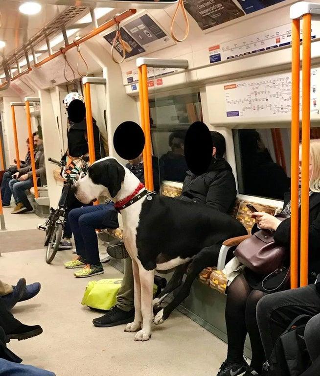 gran danes en metro