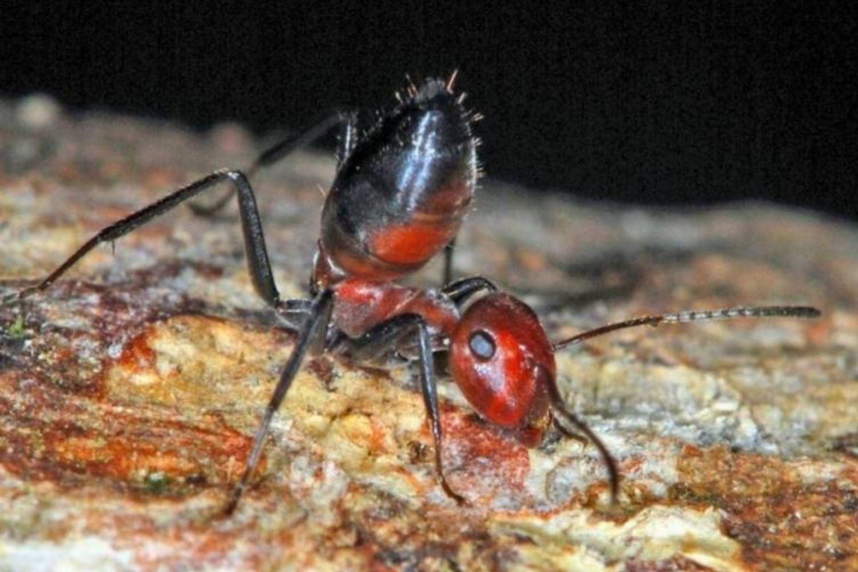 hormiga ataque