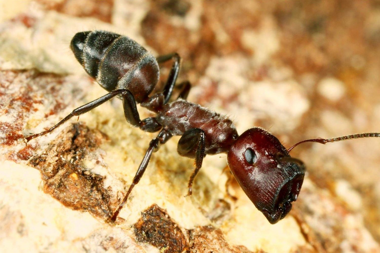 hormiga cabeza