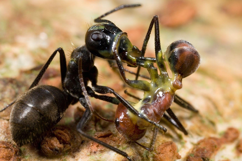 hormiga veneno