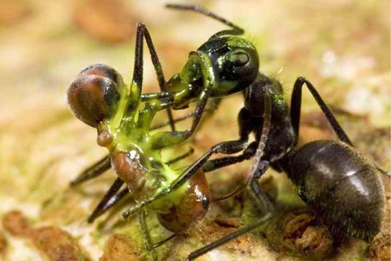 hormigas pelea