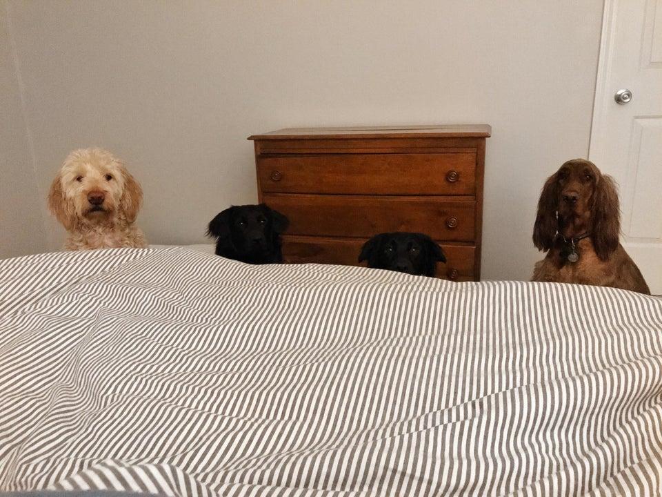 perros mirones