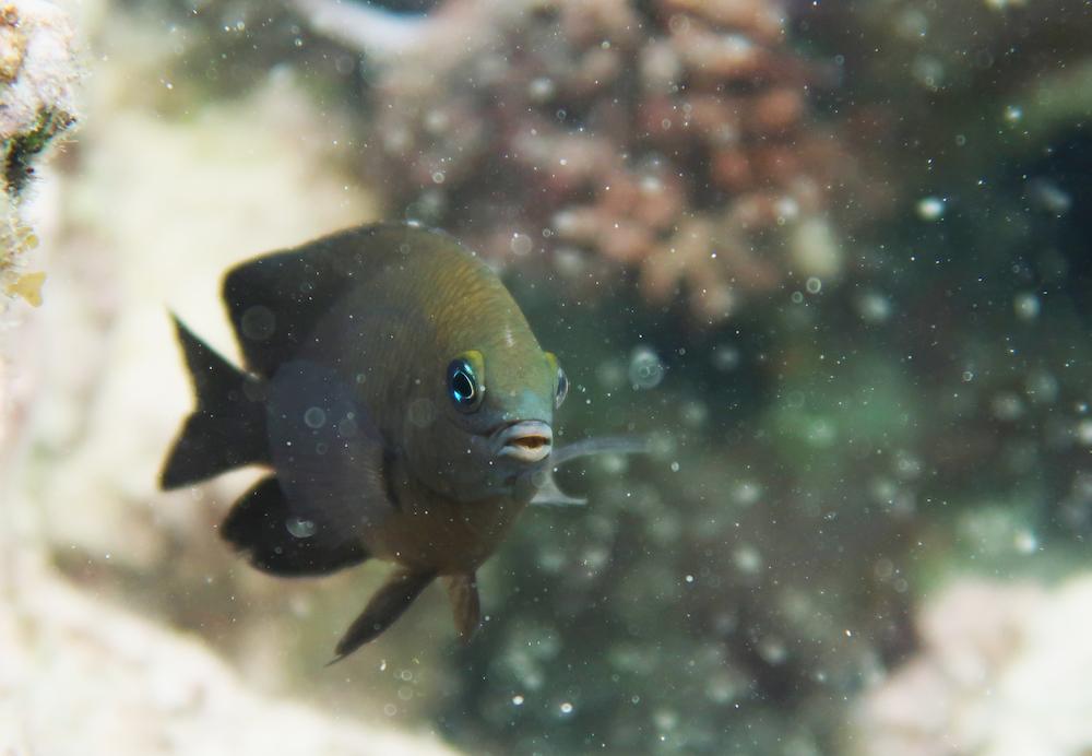 pez damisela domestica camarones