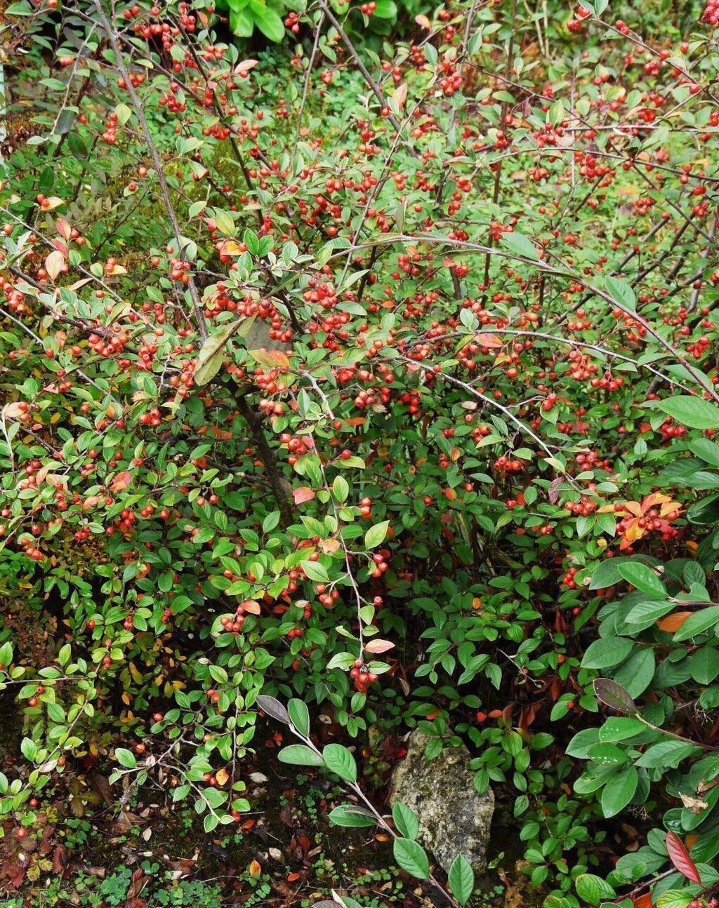 Planta Cotoneaster franchetii