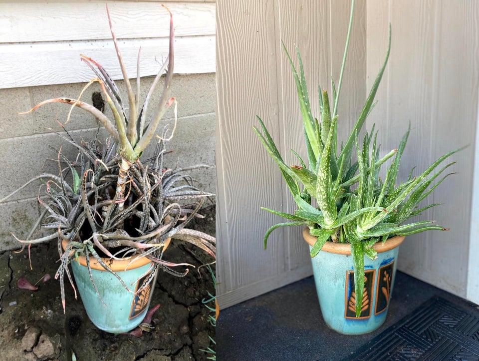 planta revivida 11