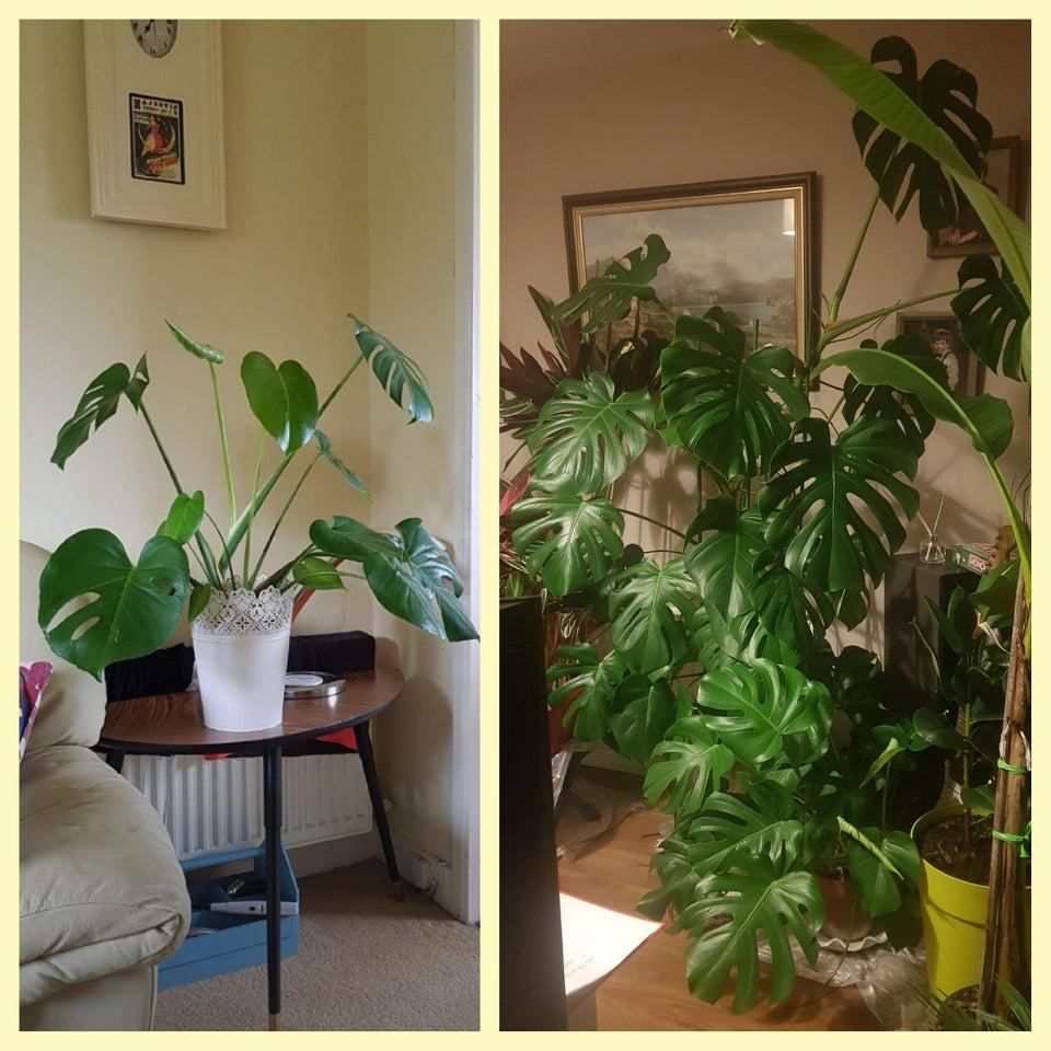 planta revivida 12