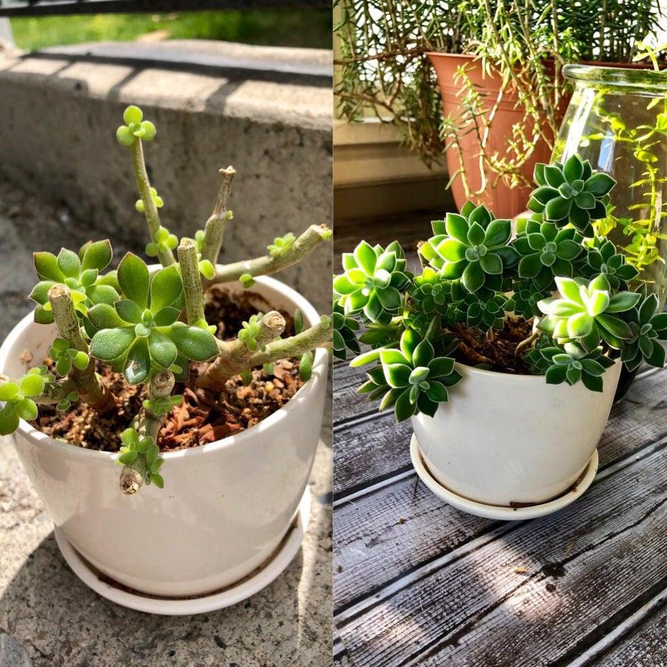 planta revivida 19