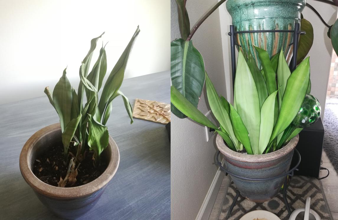 planta revivida 6