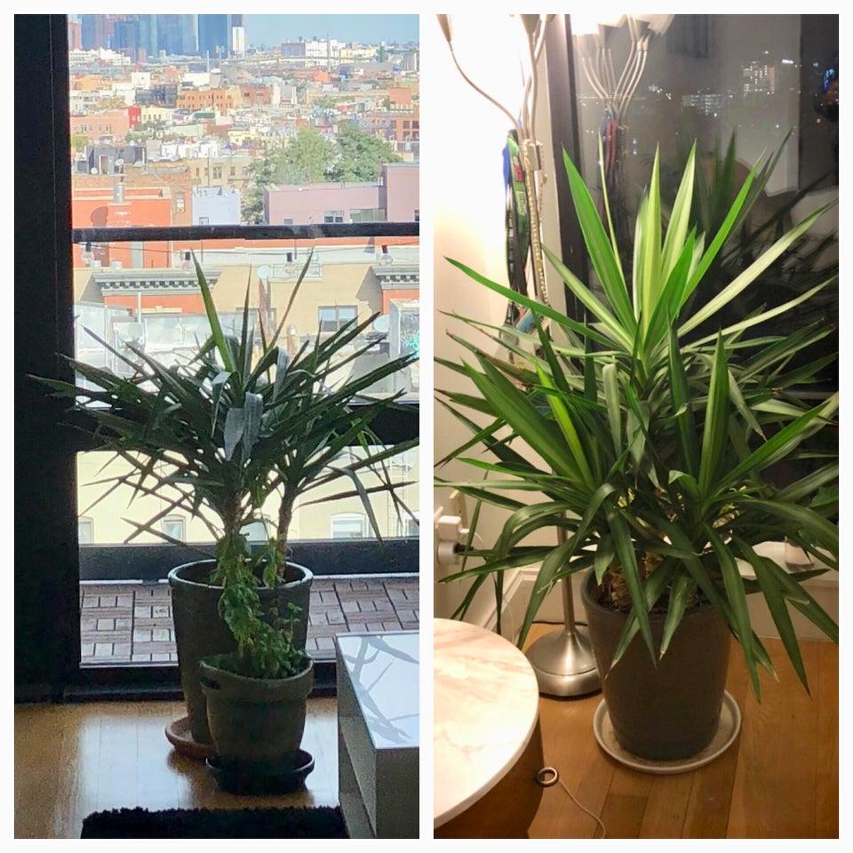 planta revivida 7