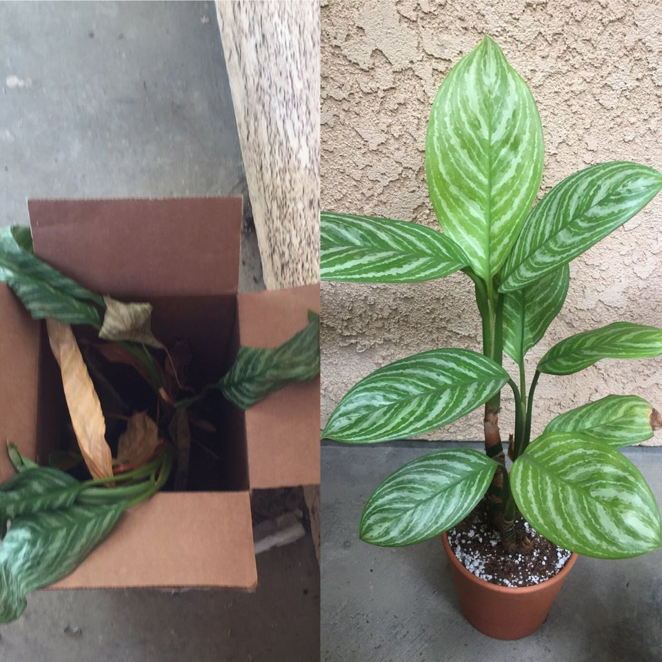 planta revivida 8