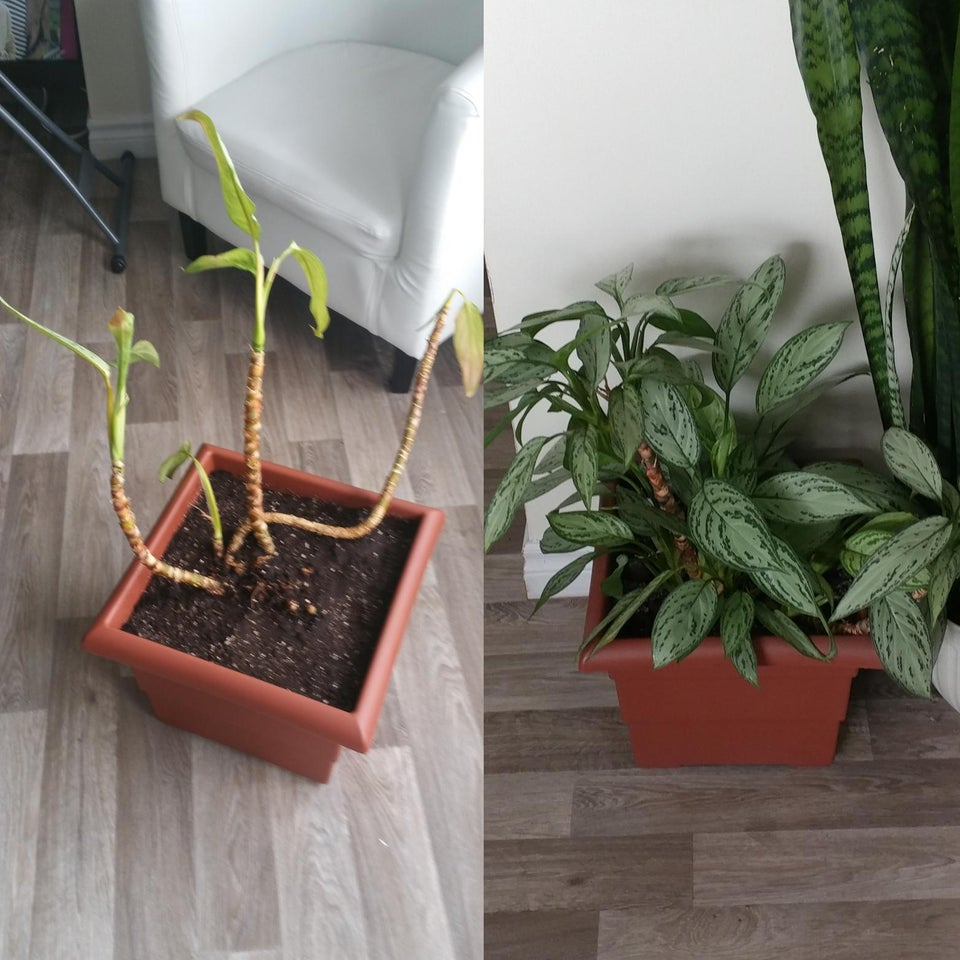 planta revivida 9