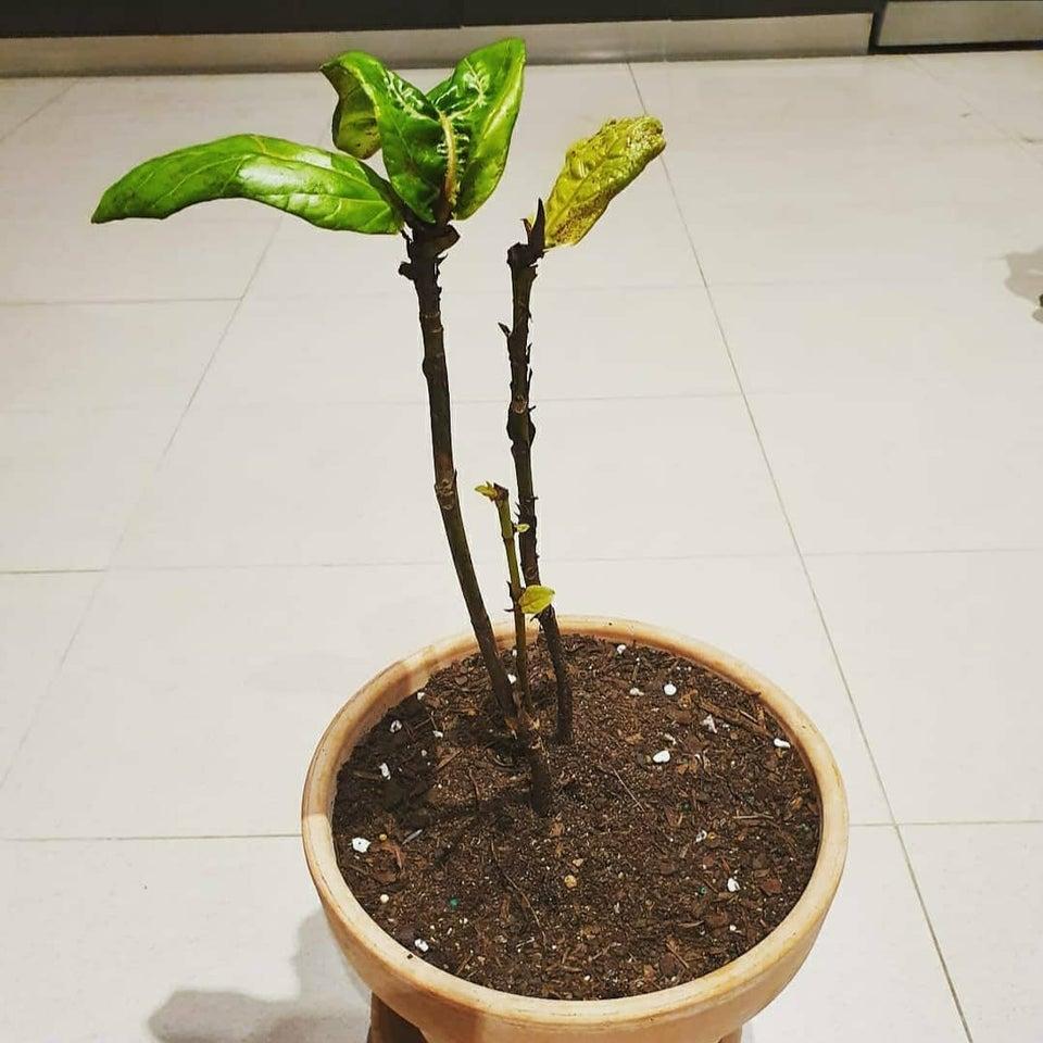 planta revivida a medias