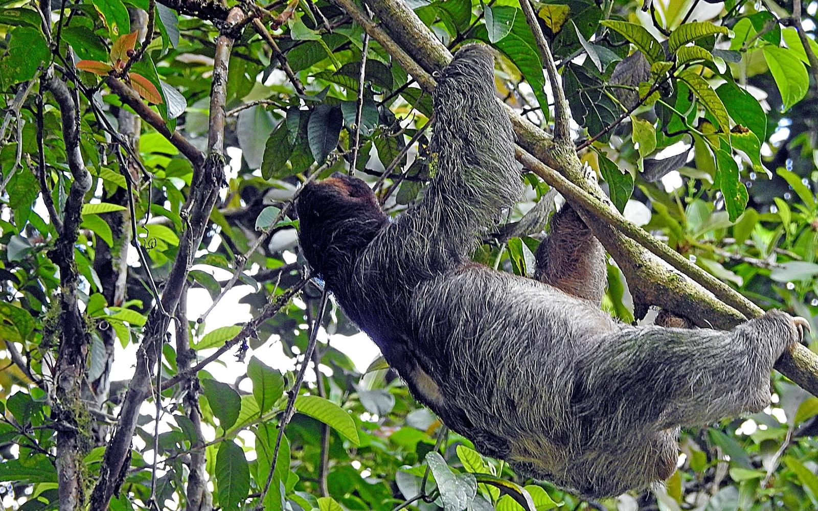perezoso en el árbol