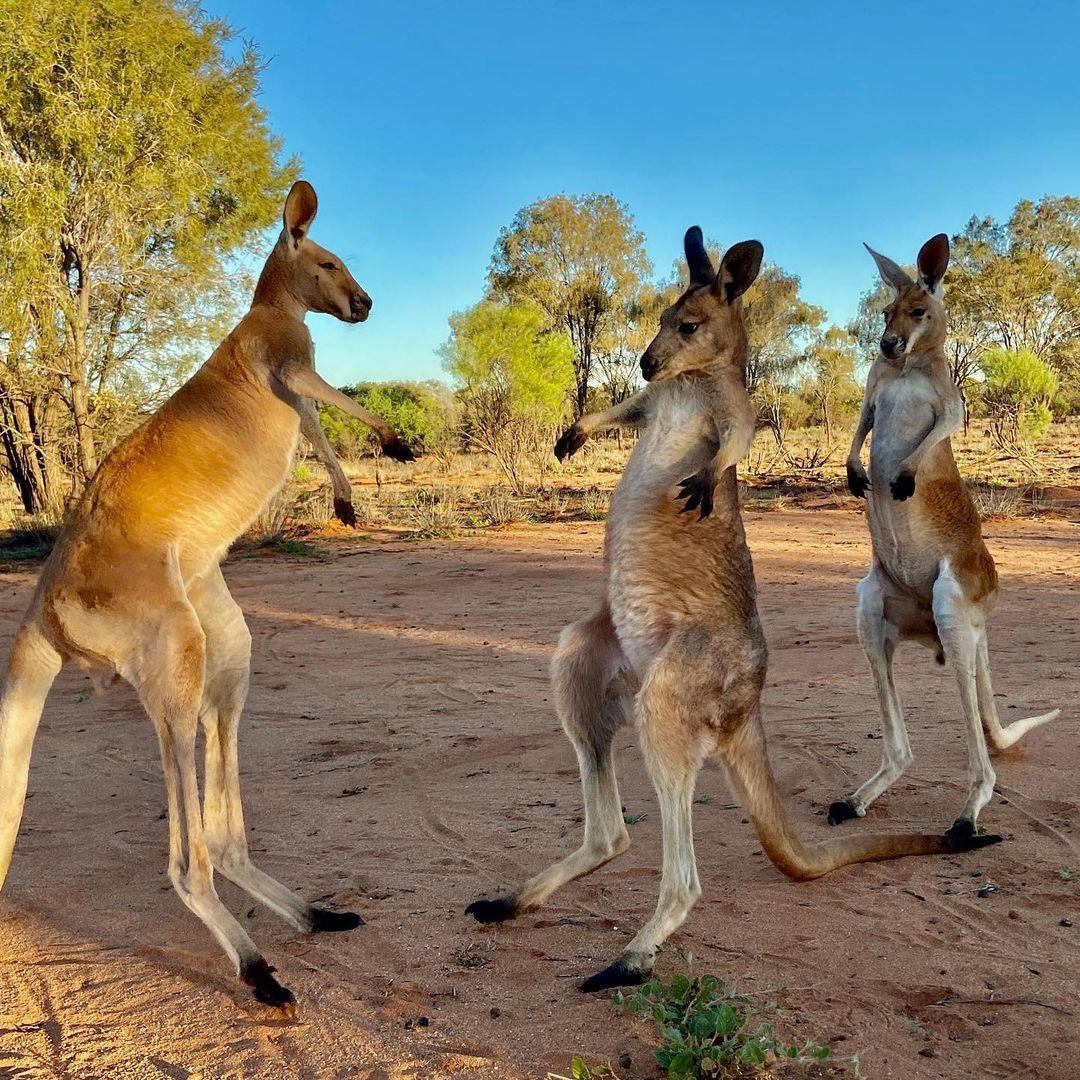 grupo de canguros luchando