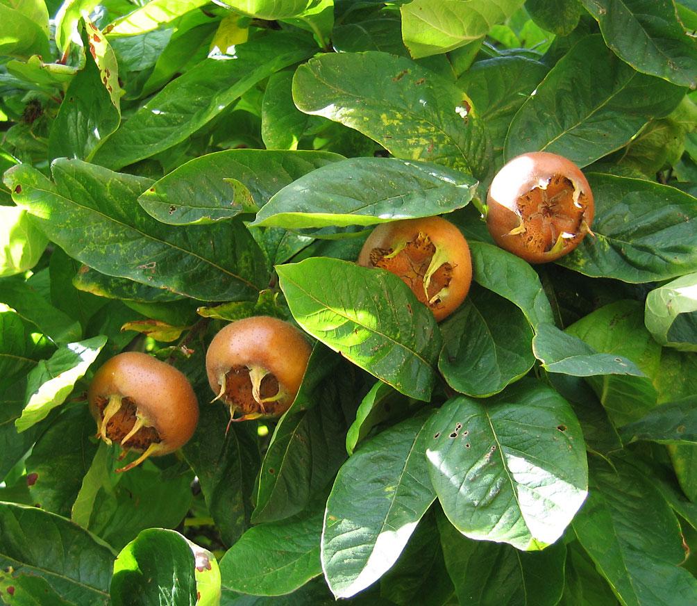 fruto del níspero europeo