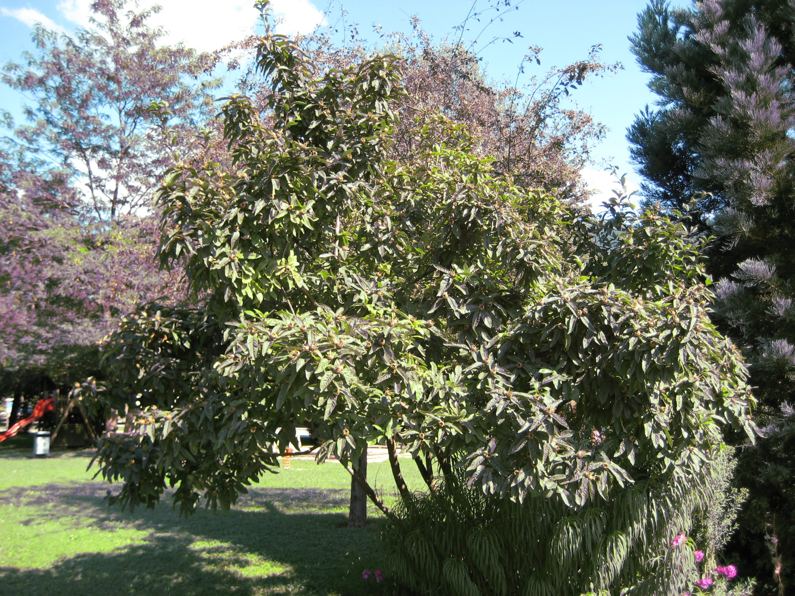 árbol del níspero europeo