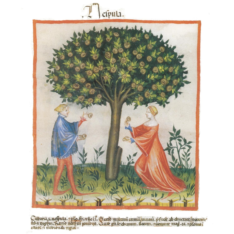 ilustración medieval del níspero