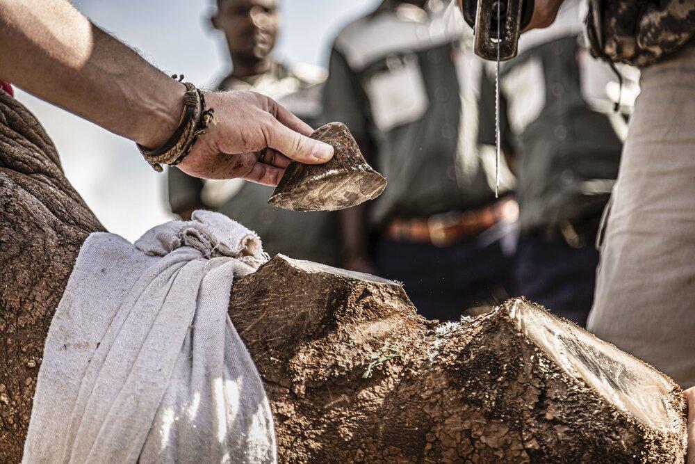 quitando los cuernos al un rinoceronte blanco
