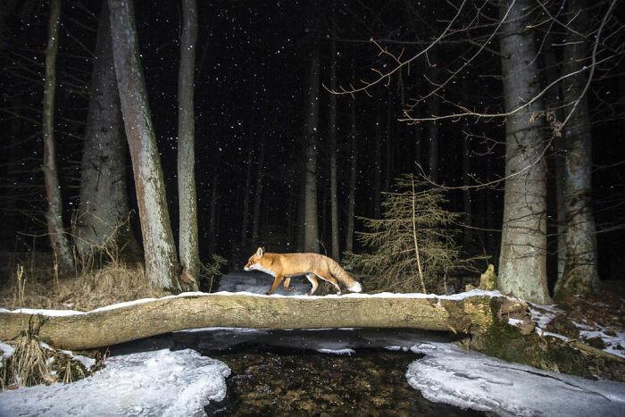 zorro en la oscuridad