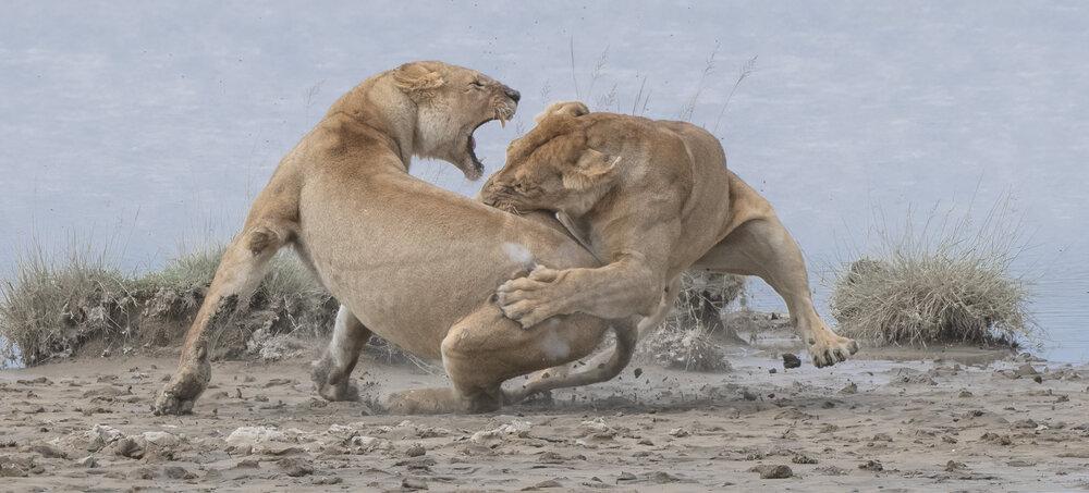 leona siendo atacada
