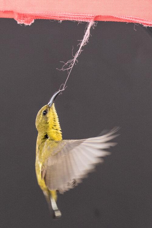 pájaro cantor