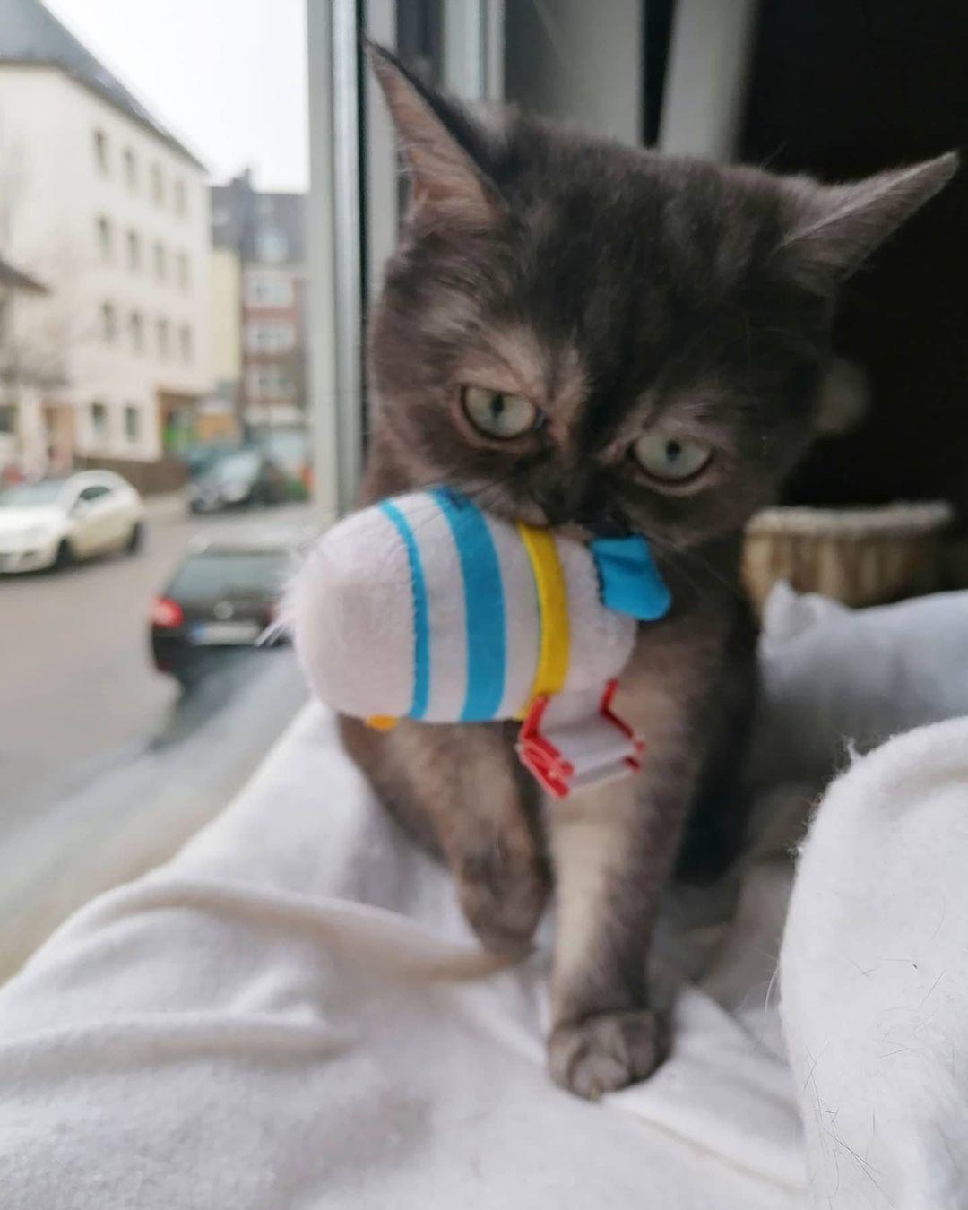 gato mordiendo juguete