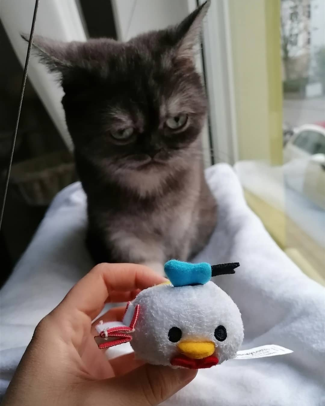 gato con pato donald