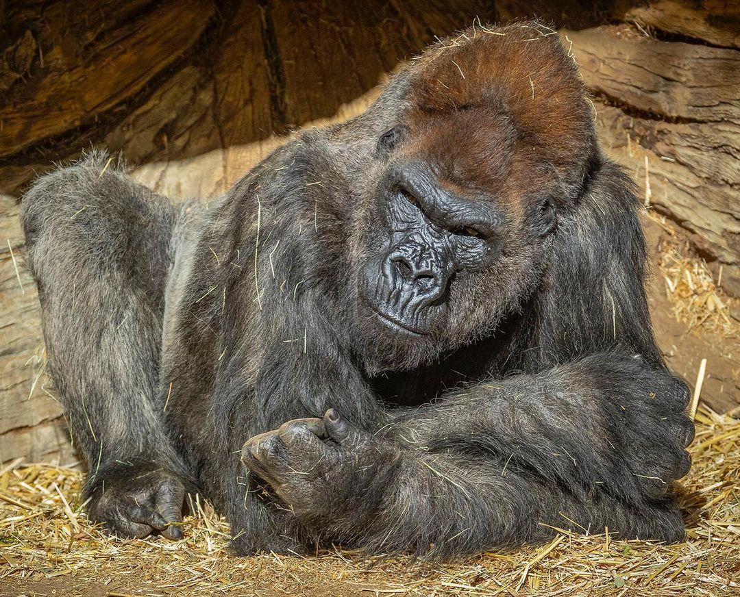 gorila 2