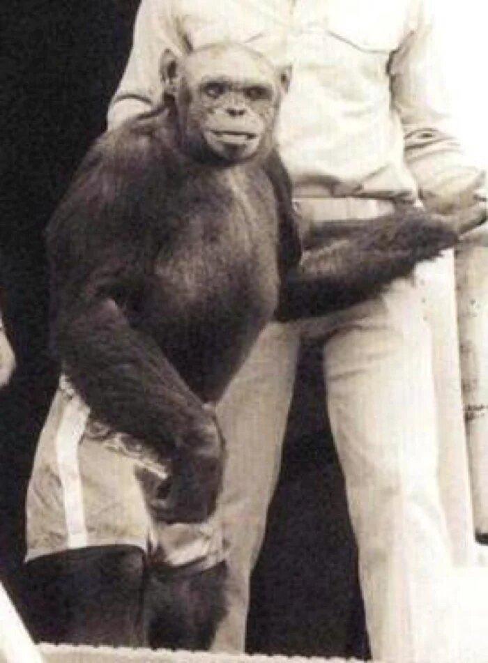 Oliver el chimpancé humano