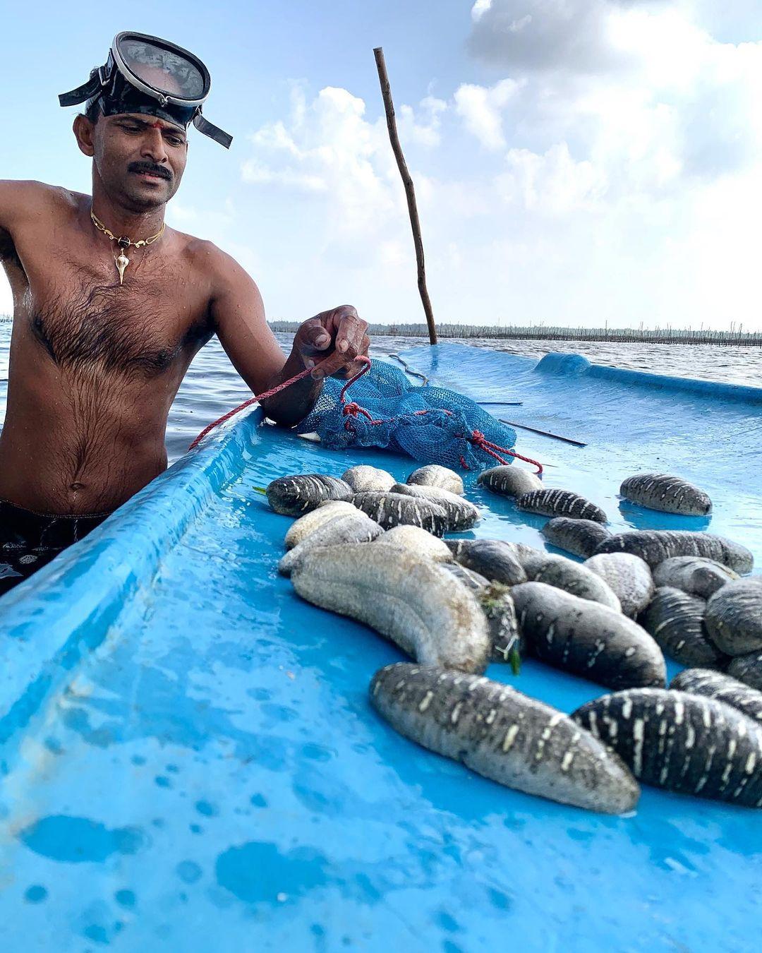 pepinos de mar 5