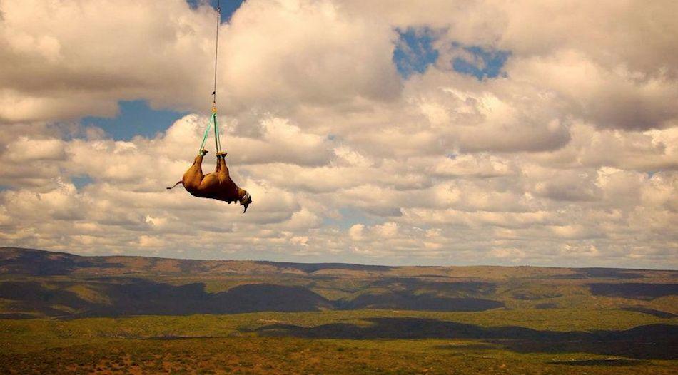 rinoceronte siendo transportado