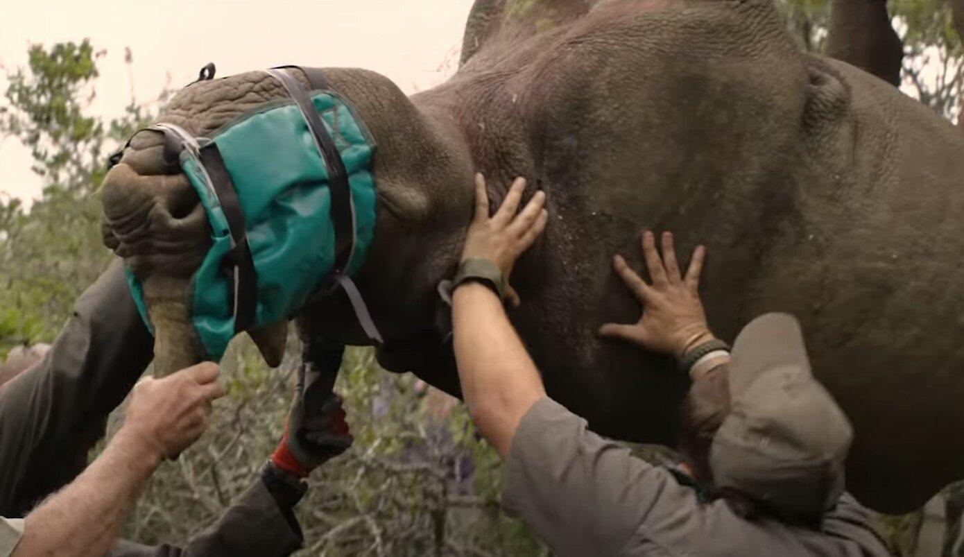 rinoceronte negro traslado
