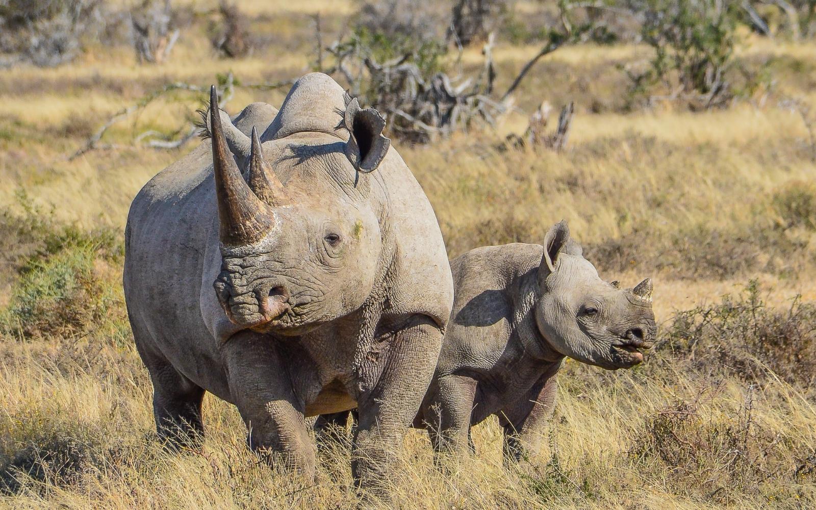 rinoceronte negro con cría