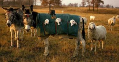 burros-cordero