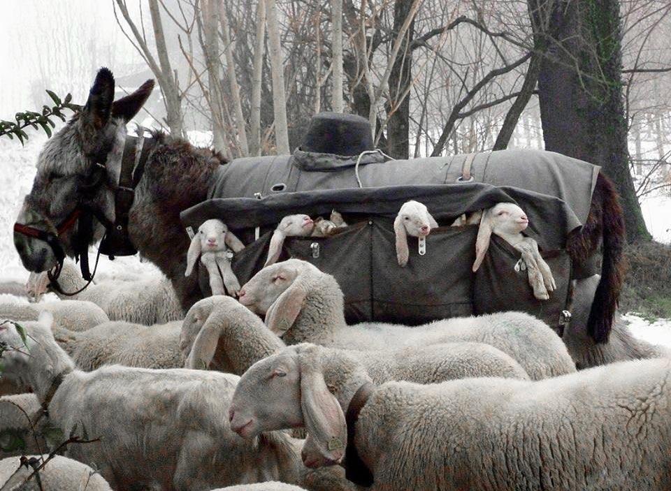 burro llevando corderitos
