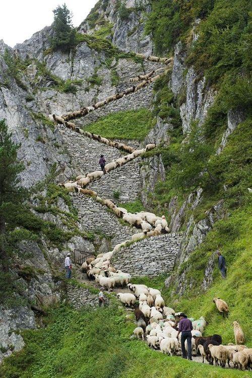 ovejas subiendo montaña