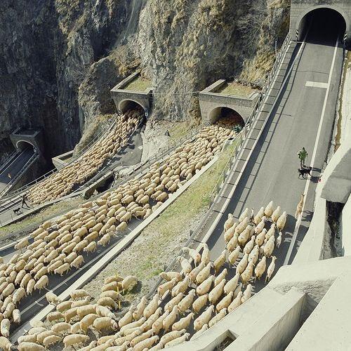 ovejas por la carretera