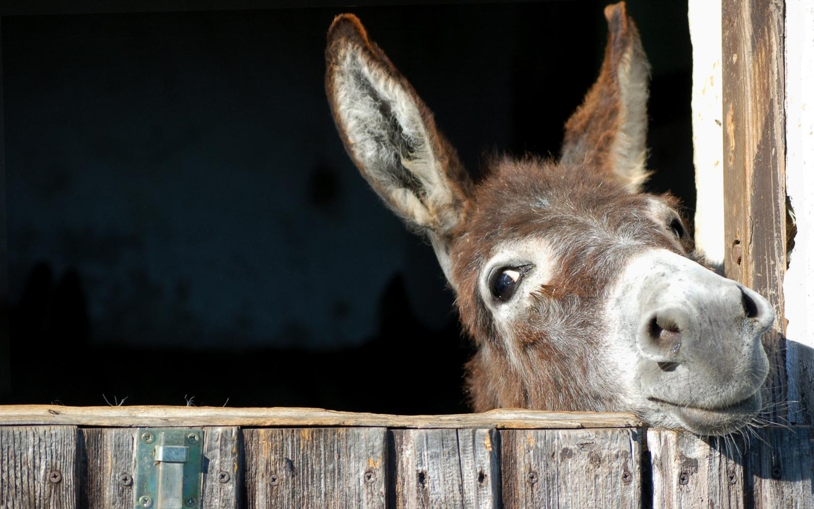 burro mirando de reojo