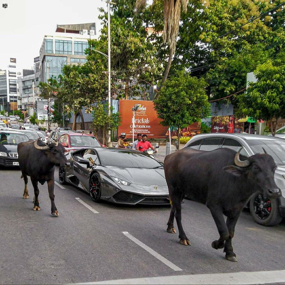 lamborghini bloqueado por búfalos