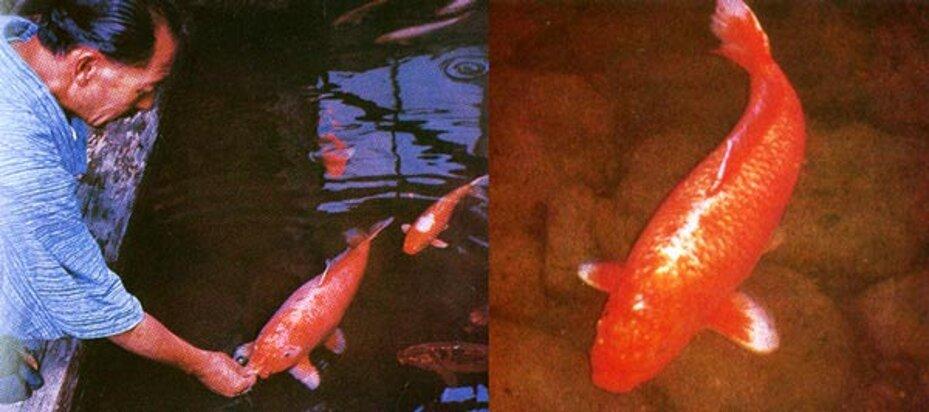 Hanako el pez más longevo del mundo