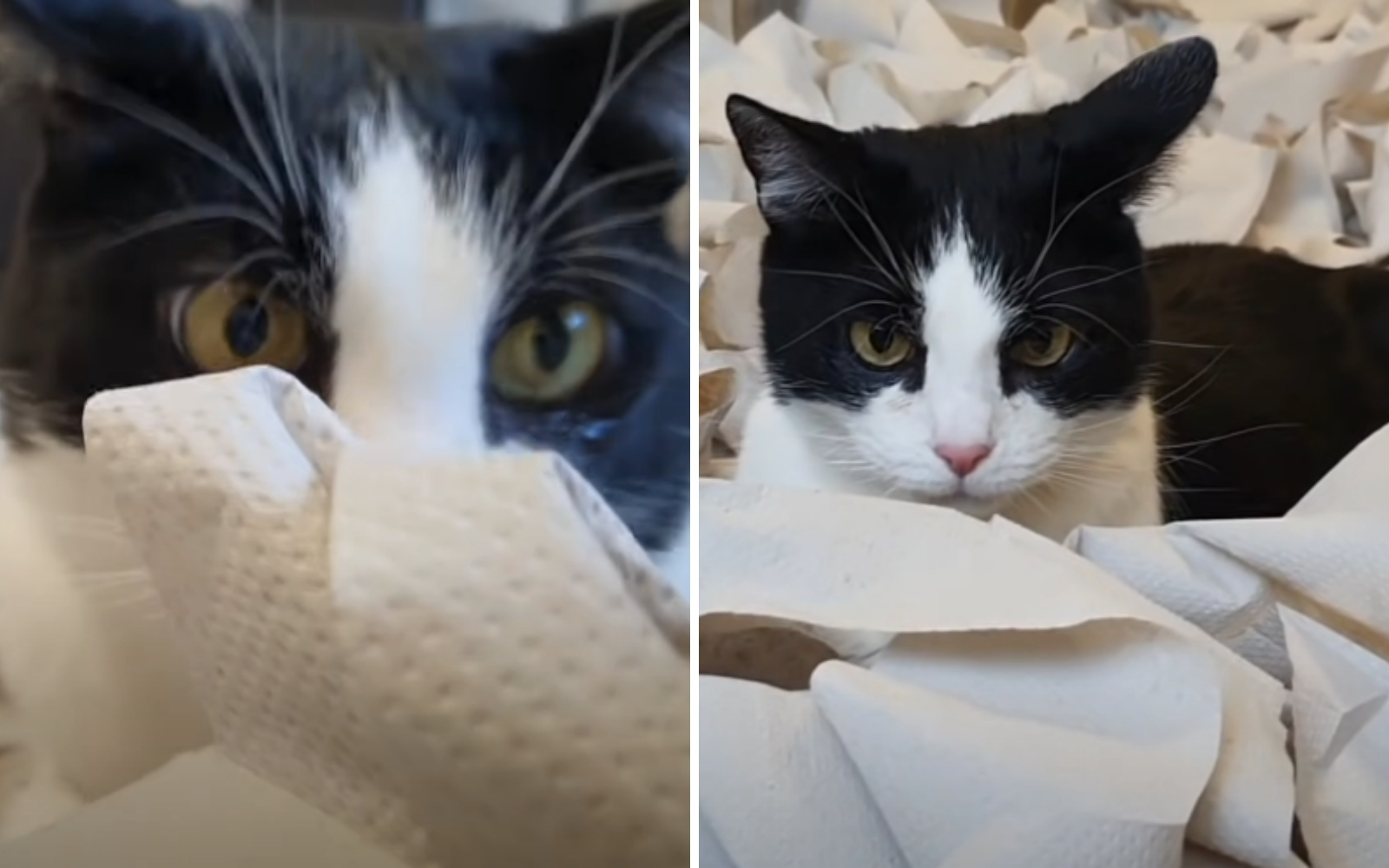 gato frac con papel higiénico